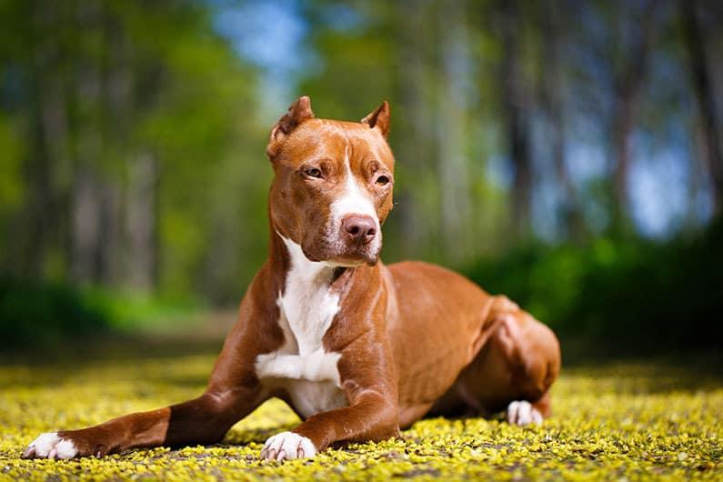 carattere american pitbull terrier