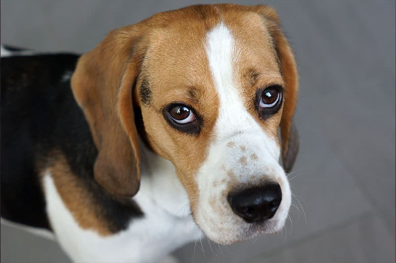 Malattie occhi cani