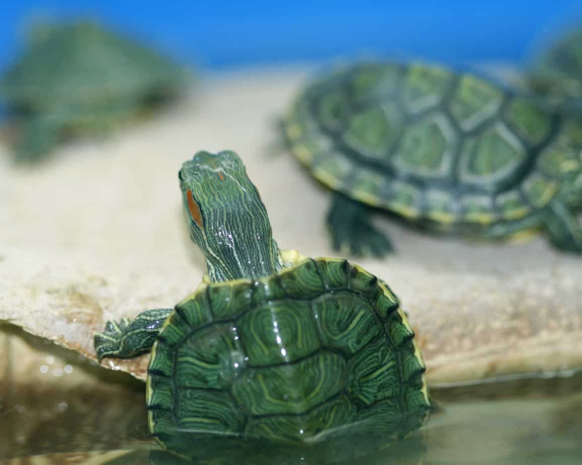 tartarughe d'acqua, alimentazione e stile di vita