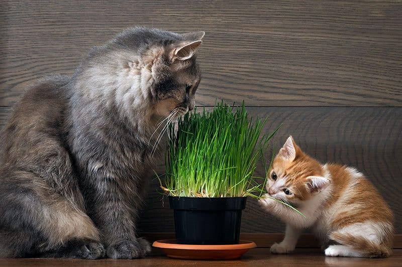 i benefici dell'erba gatta