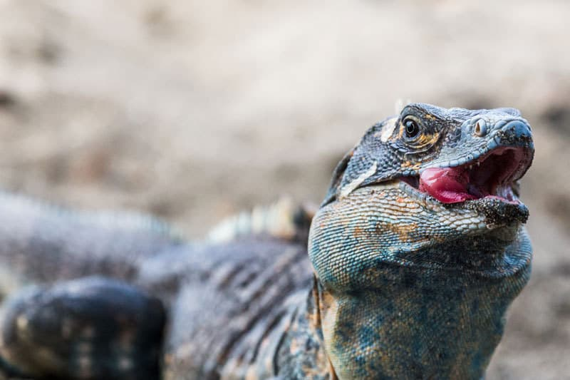 cosa deve mangiare un'iguana
