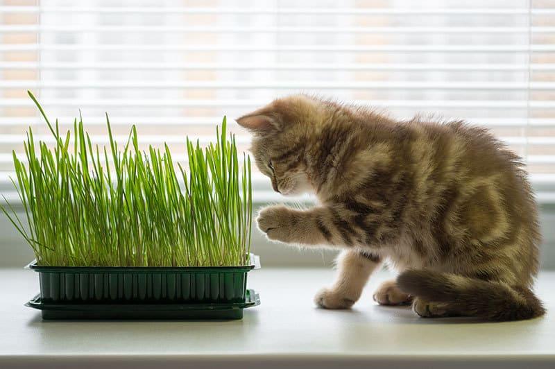 Catnip spray, giochi e pianta