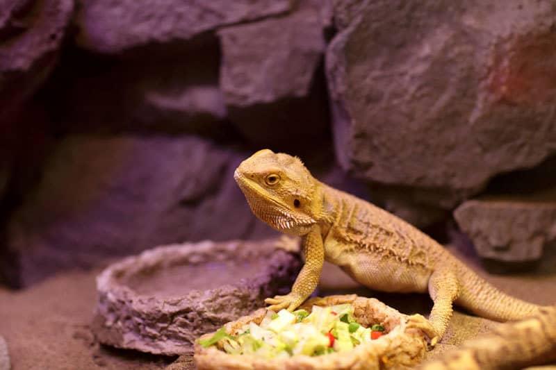 corretta alimentazione per iguana